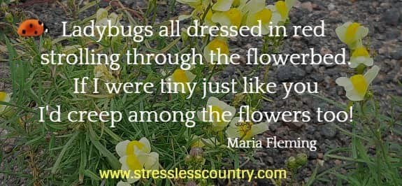 Ladybugs all dressed in red strolling through the flowerbed.  If I were tiny just like you I'd creep among the flowers too!  Maria Fleming